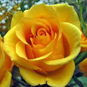 Роза чайно-гибридная Желтый Остров (Yellow Island)