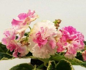 Фиалка Крупные, до 7 см, белые цветы с яркими розовыми напечатками. Аккуратная пестролистная розетка.