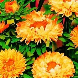 Большой Антенновский пристрой — Цветы, земляника, арбуз, дыня. — Семена многолетние