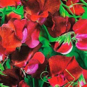"""Семена цветов Горошек душистый """"Королевская семья"""", бордовый"""