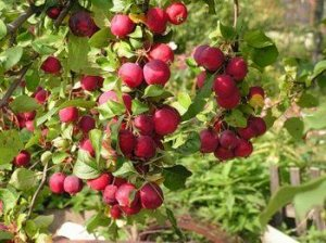 Яблоня Тонконожка