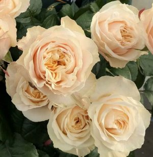 Роза виктори персиковая