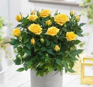 Роза санстар кордана желтая