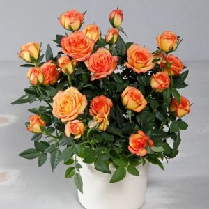 Роза маракуйя кордана оранжевая