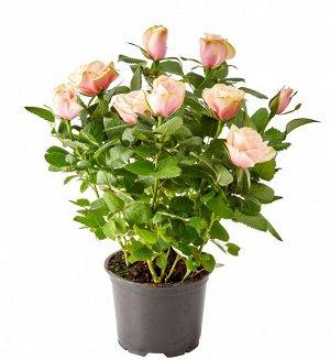 Роза магнолия кордана светло-розовая