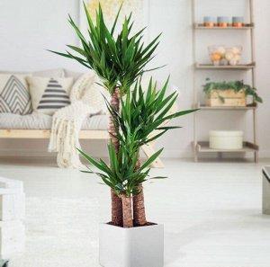 Юкка Диаметр 12  Высота50  Юкка является одним из самых популярных растений для квартир и офисов благодаря своей выносливости и стильному внешнему виду. Ее древовидные стволы увенчаны кроной крупных,