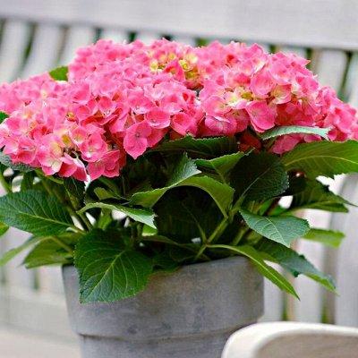 Хищный Sale! Огромный выбор комнатных растений!  — Комнатная гортензия — Декоративноцветущие