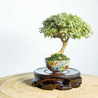 Хищный Sale! Огромный выбор комнатных растений!  — Бонсай — Комнатные растения и уход