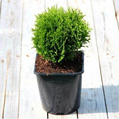 Хищный Sale! Огромный выбор комнатных растений!  — Хвойные растения — Декоративнолистные