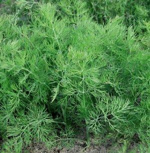 Семена Укроп «Атаман»