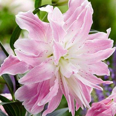 Цветущие саженцы в наличии! Идеальное качество! — Разные классные цветы — Декоративноцветущие