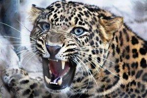 "Холст с красками по номерам ""Рычащий леопард"" 40*50 см"