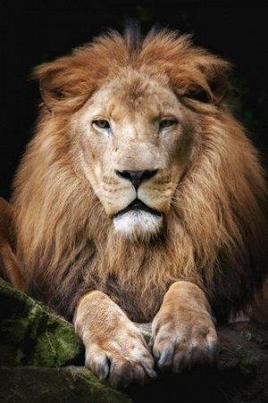 """Раскраска на картоне """"Гордый лев"""" А4"""