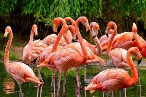 """Раскраска на картоне """"Красивые фламинго"""" А3, в кор."""