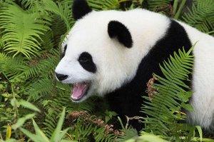 """Раскраска на картоне """"Милая панда"""" А4"""