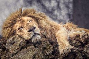 """Раскраска на картоне """"Спящий лев"""" А3, в кор."""