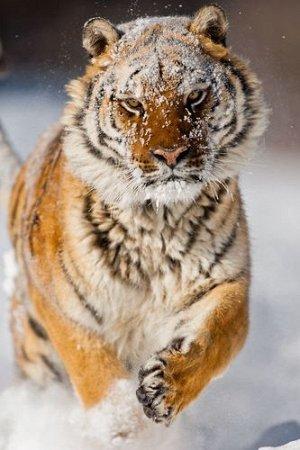 """Раскраска на картоне """"Тигр в снегу"""" А3, в кор."""