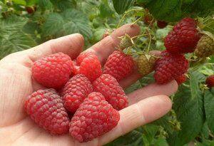 Лучшая малина , цена за 2 куста!Свободное — МАЛИНА ОКС цена за 2 куста Середина Апреля — Плодово-ягодные