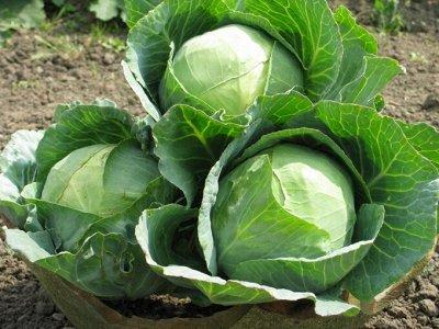 Русский огород - семена овощей, цветов.  В наличии. — Баклажаны, капуста — Семена овощей