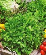 """Семена Салат """"Изумрудный листовой"""""""