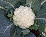 """Семена Капуста """"Сноуболл 123"""" цветная, среднеранняя"""
