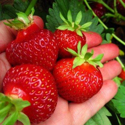 Весенняя посадка: Вишня, Барбарис и Облепиха 🍒 — Клубника — Плодово-ягодные