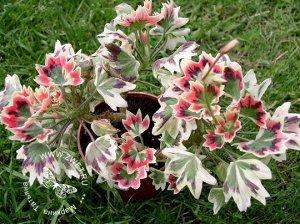 Bob Newing Пеларгония 'Bob Newing' Красивейший пестролистник. Цветы немахровые, но других сюда и не надо.. Лето у меня пережил в тени березы, по-этому не очень сильно прокрашены листья, должны быть тр