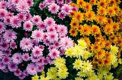 Цветущие саженцы в наличии! Идеальное качество! — Хризантемы — Декоративноцветущие