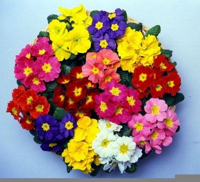 Цветущие саженцы в наличии! Идеальное качество! — Примулы — Декоративноцветущие