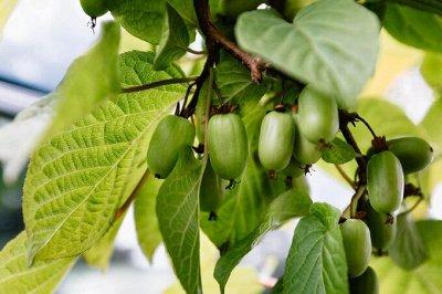 Дальневосточные Саженцы. Местный поставщик — Декоративные лиственные растения — Декоративноцветущие