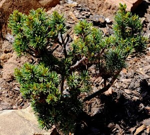 Сосна мелкоцветковая Пигми Яцубуса, C1.5