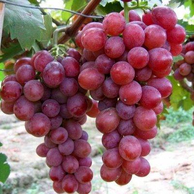 Любителям сада и цветов. Новинки💸Акции  — Виноград — Плодово-ягодные