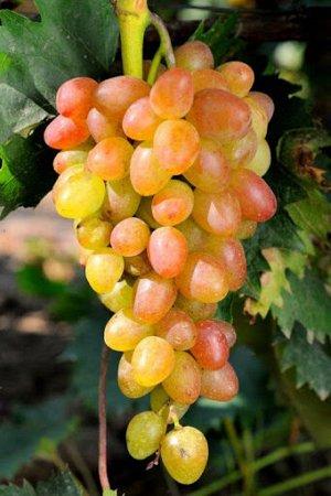 Саженцы Виноград Плодовый Багровый очень ранний, розовый ЭС