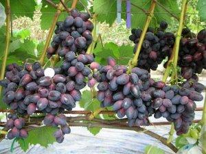 Саженцы Виноград Плодовый Красотка раннеспелый, темно-розовый ЭС