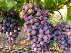 Саженцы Виноград Плодовый Подарок Ирине раннеспелый, от насыщенно-розового до темно-красного ЭС