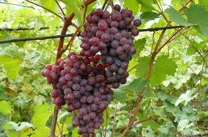 Саженцы Виноград Плодовый Русский Ранний очень ранний, темно-розовый ЭС