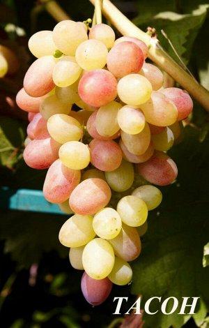 Саженцы Виноград Плодовый Тасон очень ранний, белый, зелено-желтоватый с румянцем ЭС