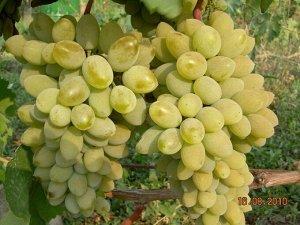 Саженцы Виноград Плодовый Тимур ранний, белого или янтарного цвета ЭС