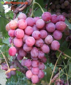 Саженцы Виноград Плодовый Фламинго раннесредний, бледно-розовый, розовый ЭС