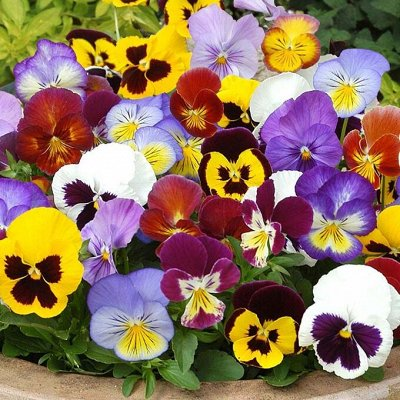 Дачный сезон! НЕ ПРОПУСТИ! Более 2000 видов семян!       — Цветы двулетние — Семена двулетние