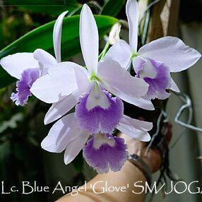 Экзотика Азии. Рассада редких орхидей. поставка на лето. — Каттлеи — Декоративноцветущие