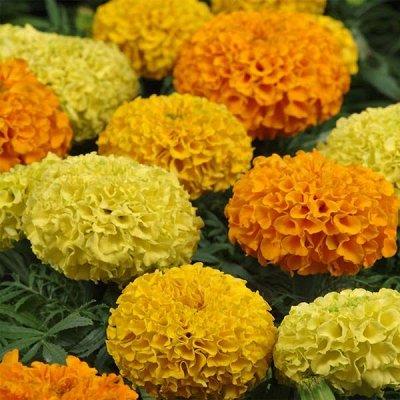 2000 видов семян для посадки! Подкормки, удобрения.     — Цветы однолетние Бархатцы — Семена однолетние