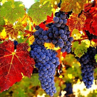 Садово-Огородная Ярмарка🌿 уДачный сезон!   — Саженцы Винограда — Плодово-ягодные