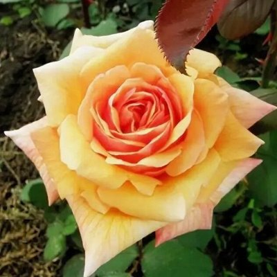 Садово-Огородная Ярмарка🌿 уДачный сезон!   — Розы Алтая — Декоративноцветущие