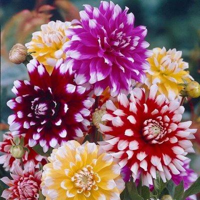 Садовая закупка-семена,саженцы,луковицы, удобрения-в наличии — ГЕОРГИНЫ — Декоративноцветущие