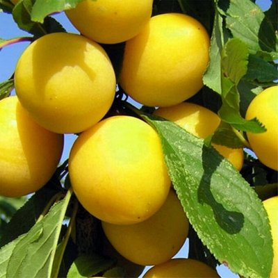 Садовая закупка-семена,саженцы,луковицы, удобрения-в наличии — Плодовые деревья — Плодово-ягодные