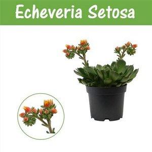 Эхеверия Сетоса