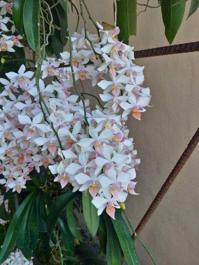 Экзотика Азии. Рассада редких орхидей. поставка на лето