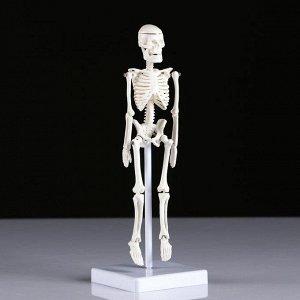 """Макет """"Скелет человека"""" 22см"""