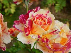 Роза Камиль
